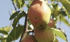 Киргизская зимняя груша