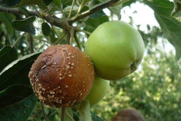Плодовая гниль (монилиоз)