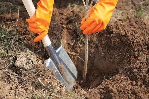 Как правильно посадить черешню весной?
