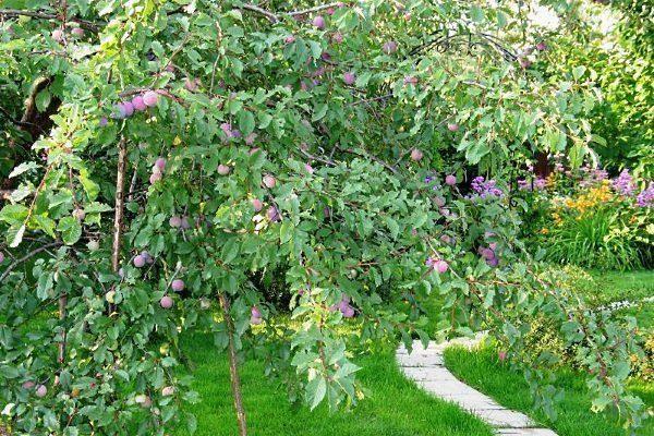 Дерево Евразия 21