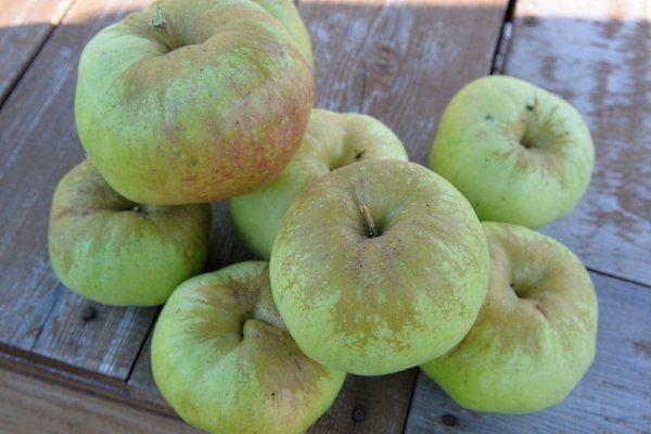 Яблоня богатырь посадка и уход в открытом грунте
