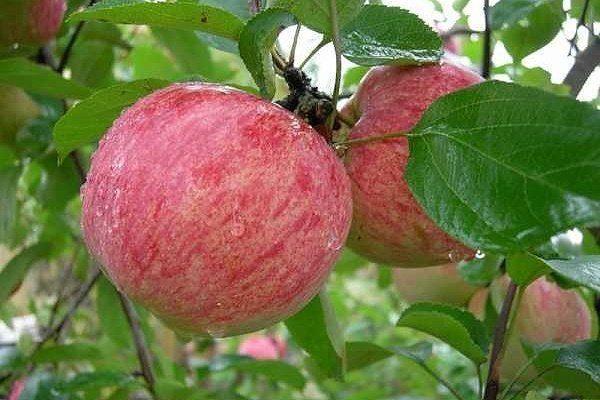 Сорт Осенняя радость