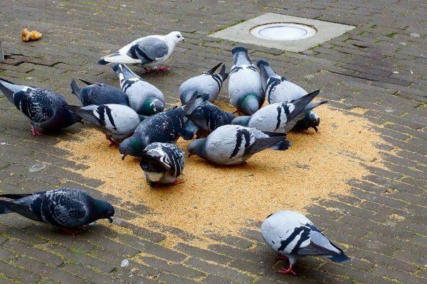 Уличные голуби едят