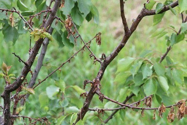 Монилиоз абрикоса
