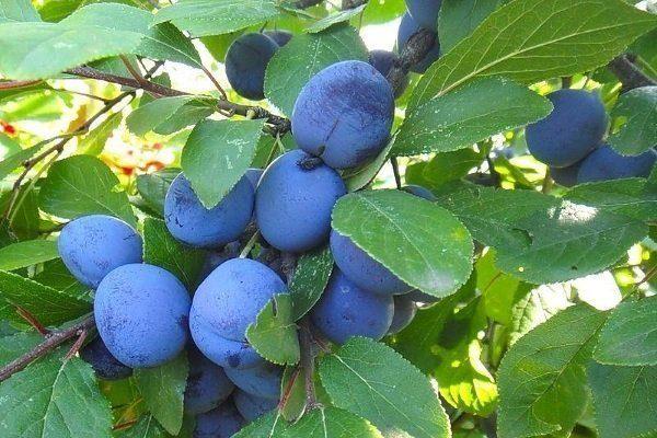 Сорт Синий