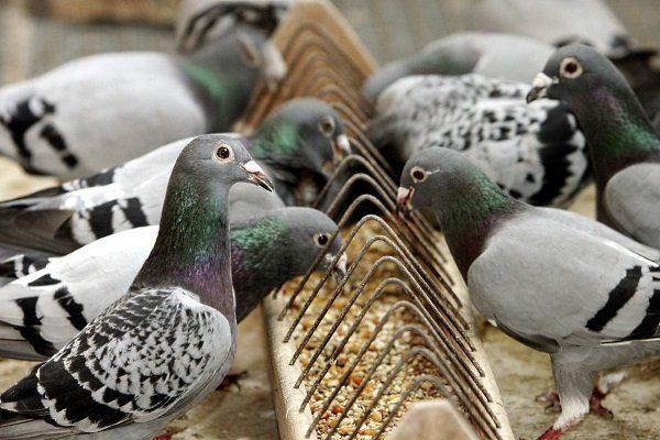 Зерносмесь для голубей