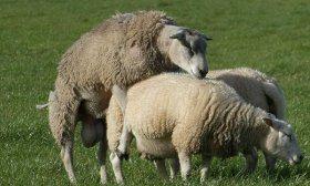 Спаривание овец