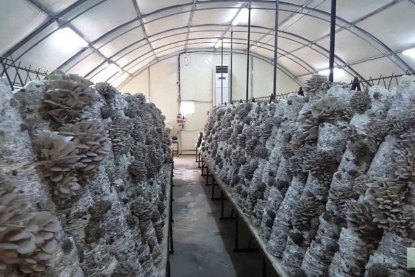 Теплица для грибов