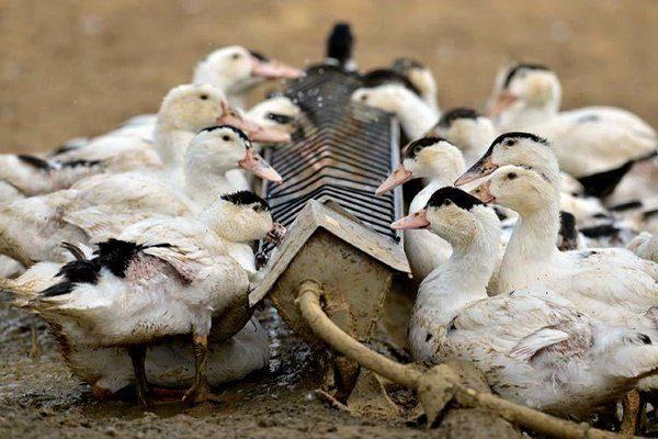 Что едят дикие утки и чем их можно кормить в городе