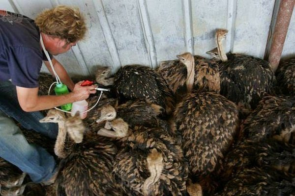 Вакцинации страусов