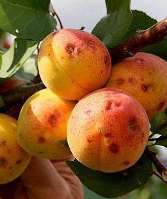 Болезнь абрикос