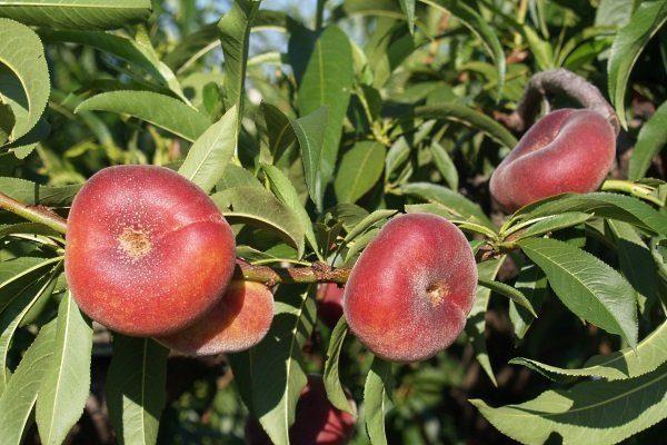 Сорт Инжирный персик