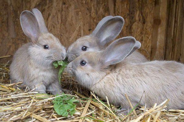 Корм крольчат