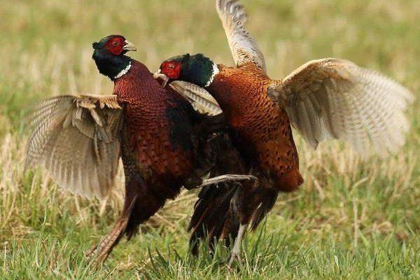 Драки и каннибализм среди фазанов