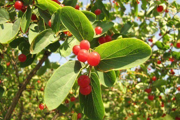 Татарская жимолость: все нюансы ухода, посадки и выращивания