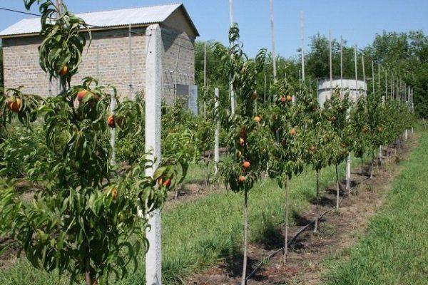Деревья персика