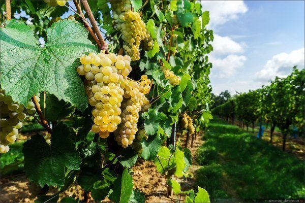 Мускат Диевский описание сорта винограда