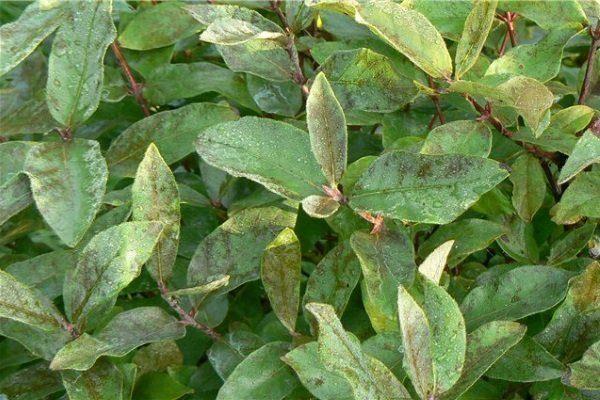 Почернение листьев