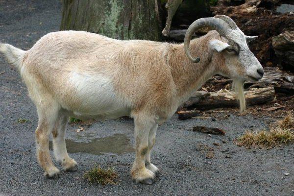 Камерунская порода коз