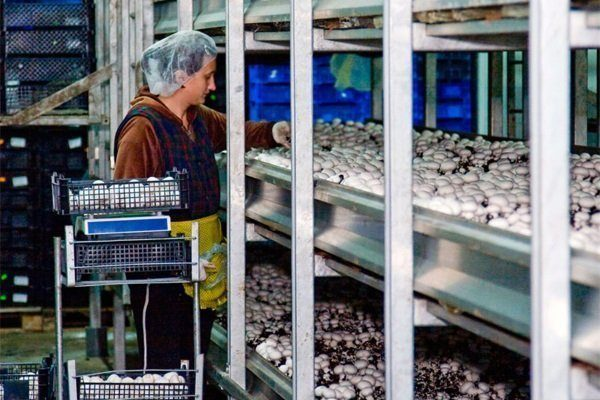 Взвешивание грибов