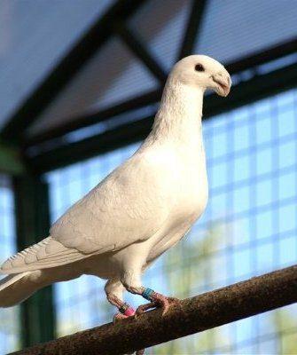 Немецкие выставочные голуби