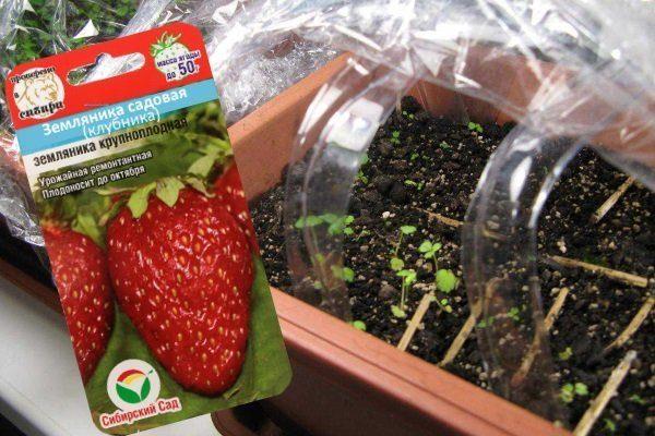 Как высаживать клубнику из семян