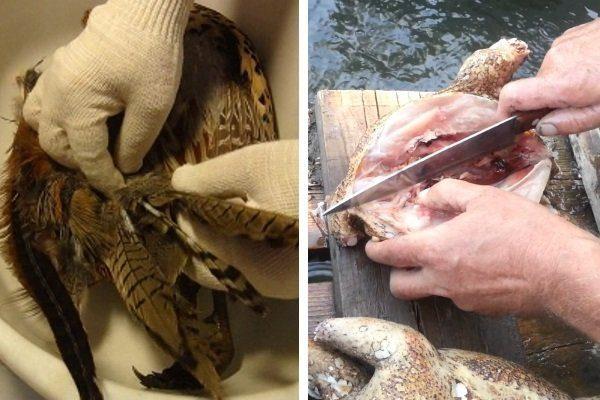 Ощип и разделка фазана