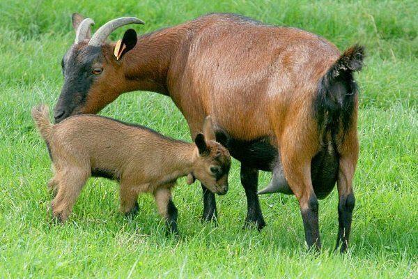 Чешская бурая коза