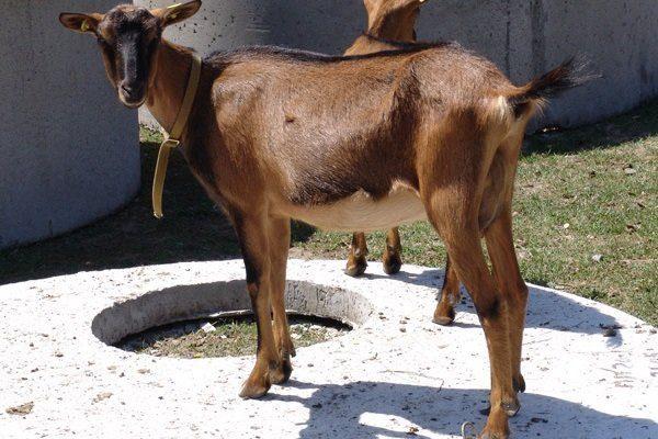Пестрая немецкая коза