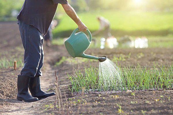 Огородник поливает