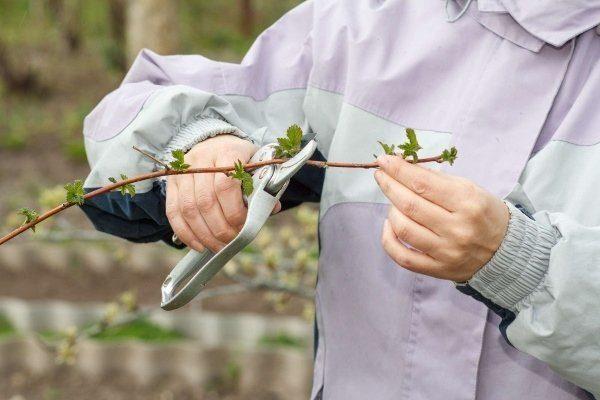 Прищипывание стеблей