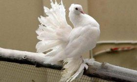 Белый голубь «павлин»