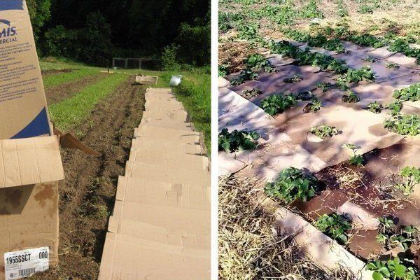 Мульчирование почвы картоном