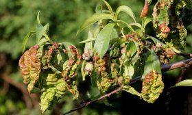 Курчавость листьев