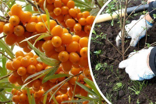 Выращивание облепихи из семян в домашних условиях