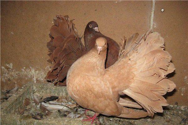 Голуб и голубка