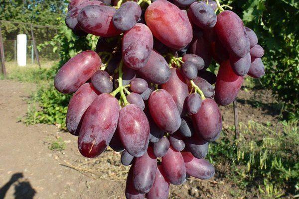 Сорт Кандагар