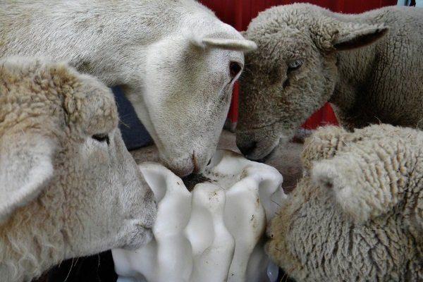 Овцы лижут лизунец