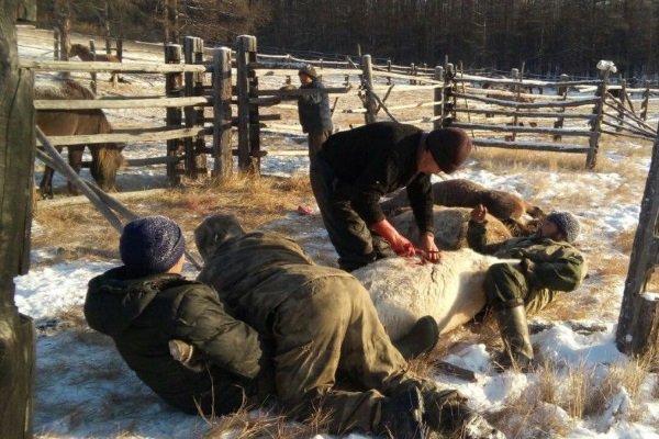 Подготовка лошади перед забоем
