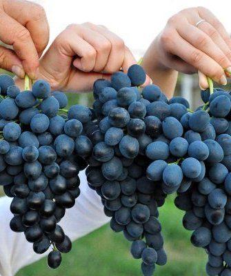 Виноград сорта Молдова