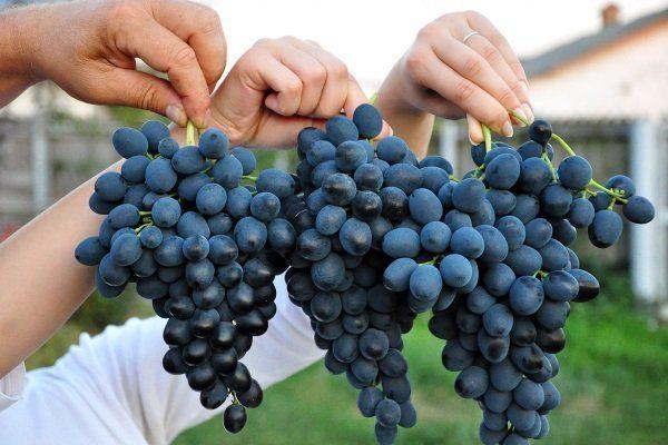 Молдова сорт само опыляемого винограда