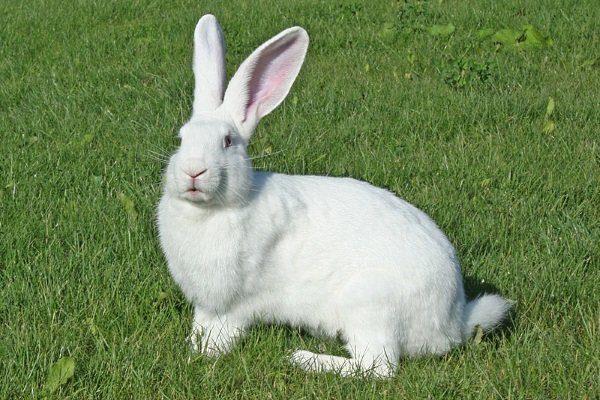 Порода кролика Белый великан