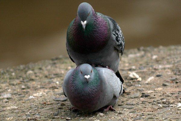Когда голуби выводят птенцов