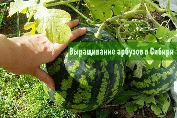 Арбузы для Сибири: сорта, их описание и особенности выращивания в теплице
