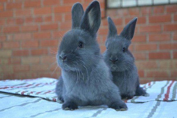 Венские голубые крольчата