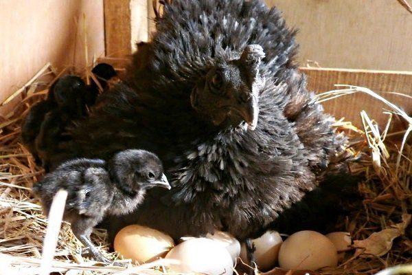 Наседка и цыпленок