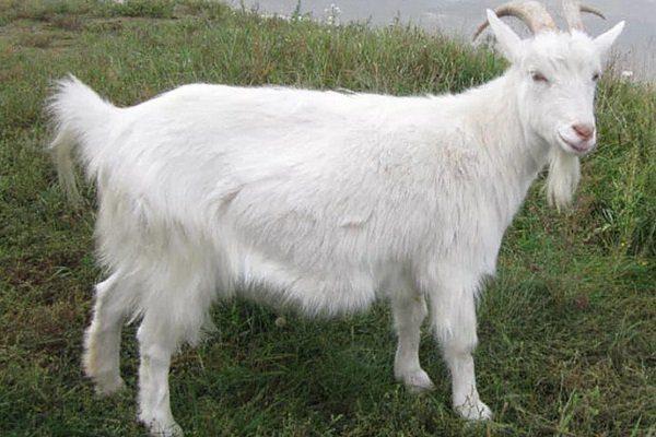 Коза породы Русская белая