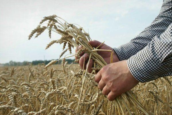 Колосья озимой пшеницы