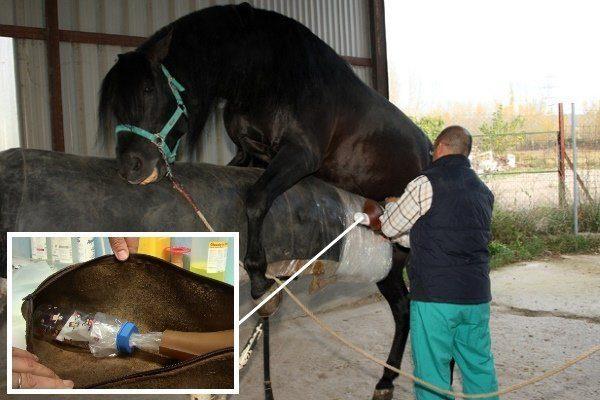 Сбор семенной жидкости коня