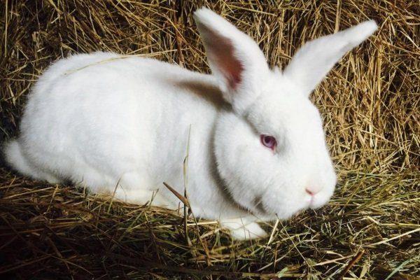 Белые новозеландские кролики